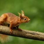 Dufton - Red Squirrel